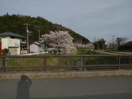 sasakura.JPG